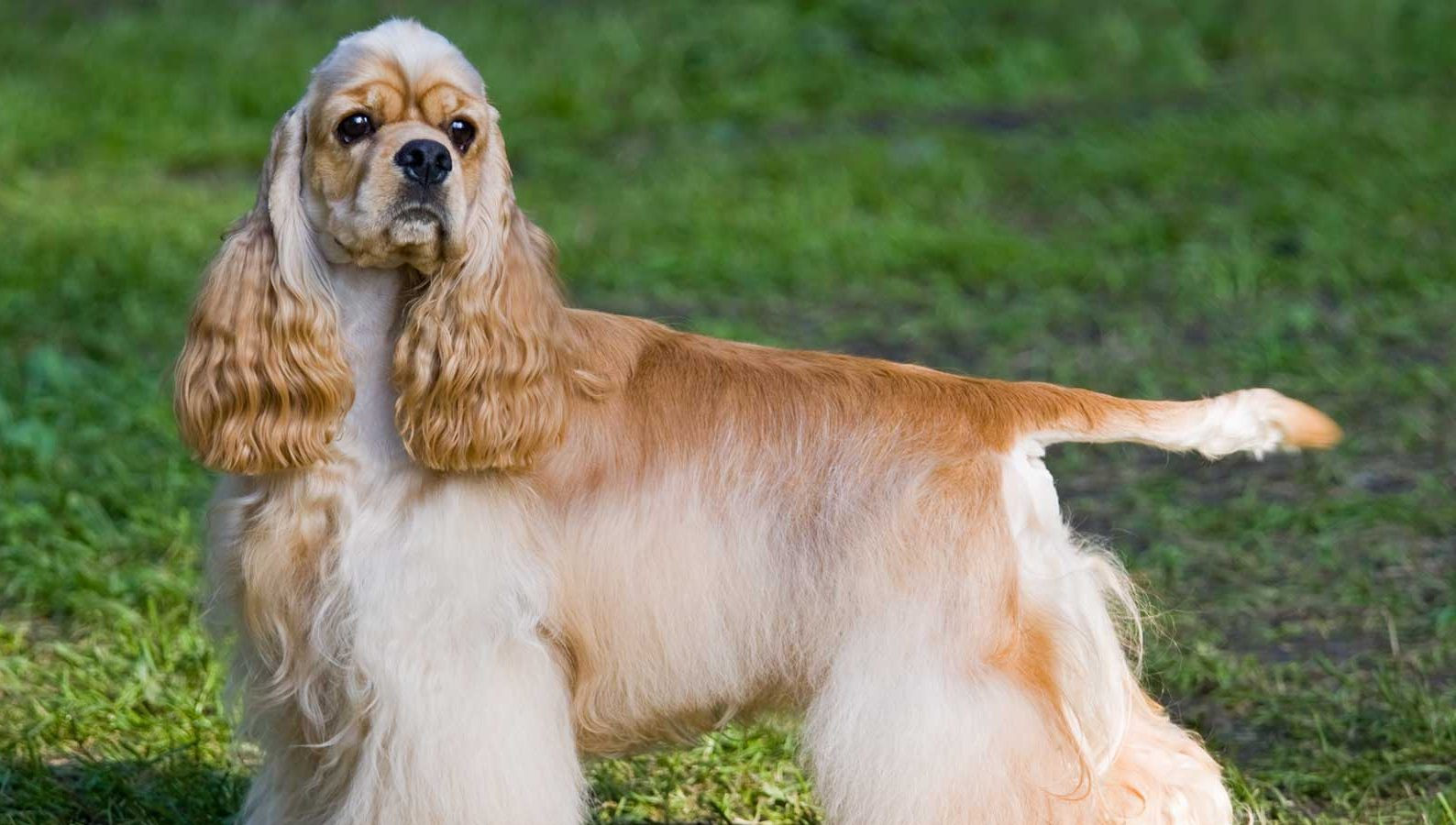 cock ohio sale for in spaniels
