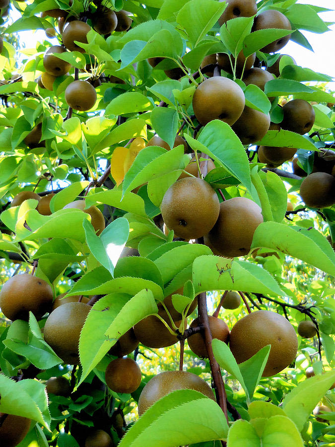pear pictures tree asian
